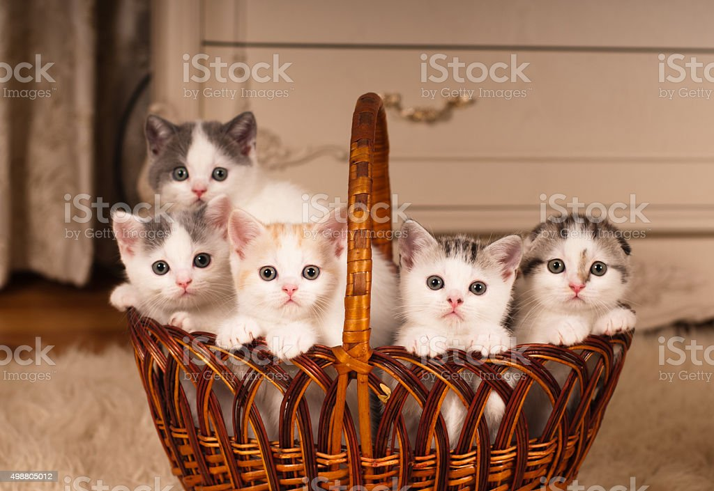 Five cute kittens in braided basket stock photo