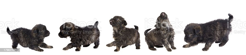 Five cute puppy dog brown royalty-free stock photo