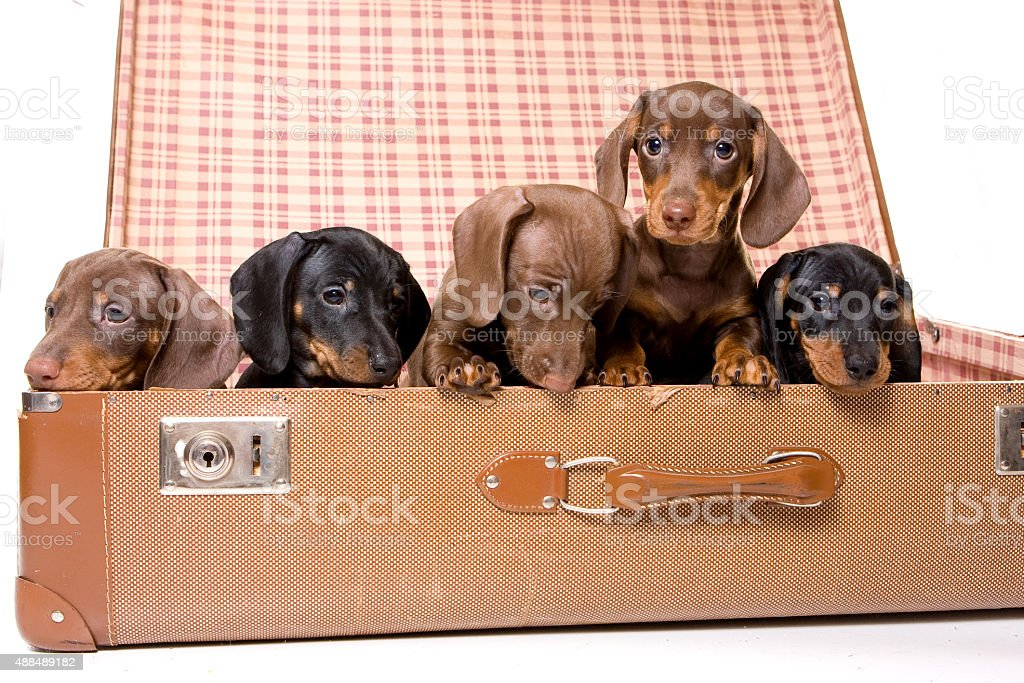 Five dachshund puppies in a suitcase (isolated on white) stock photo