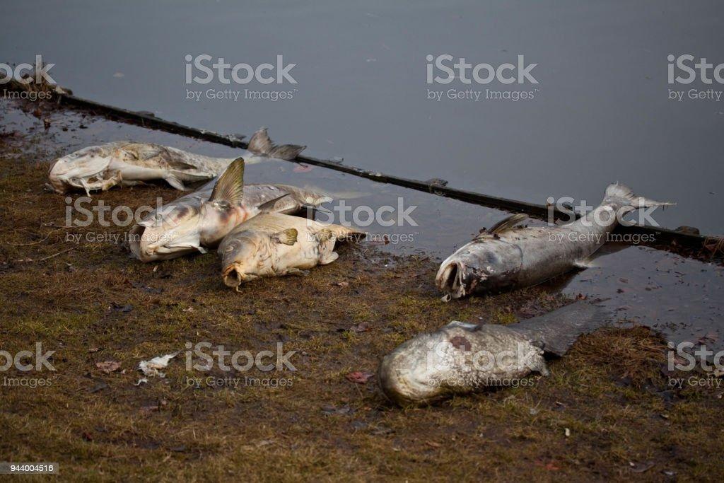 Fünf tote Fische am Ufer eines Sees Verlegung – Foto