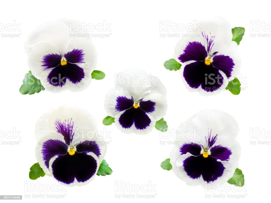 Five delicate white and violet pansy flowers stock photo