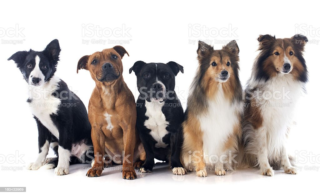 five dogs royalty-free stock photo