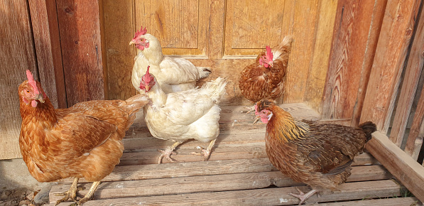 Clean, free domestic chickens standing in front of wooden farm doors on warm autumn sun.