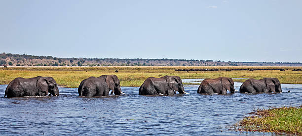 Five elephants crossing the Chobe River to Sududu island