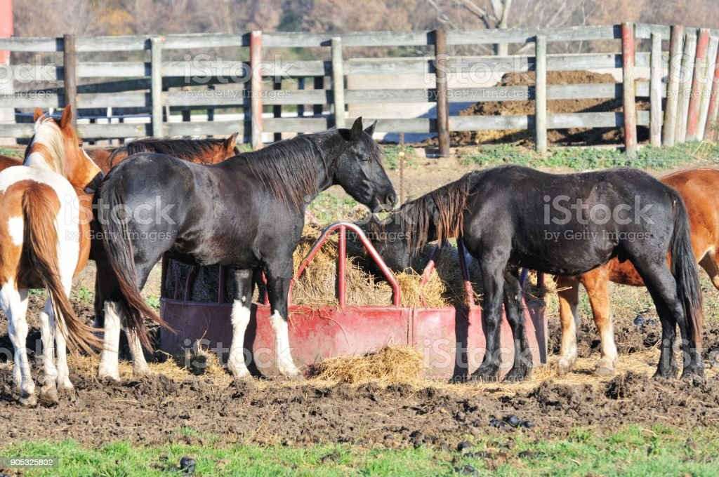 Five Feeding Horses stock photo