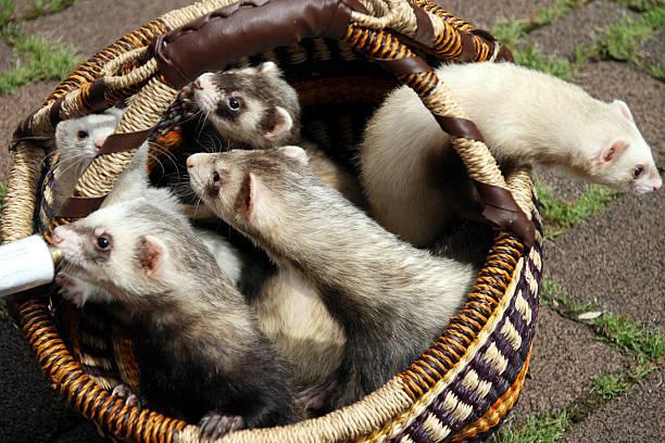 Five ferrets stock photo