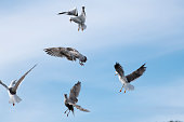 Five flying seagulls are fighting for a piece of bread. A seagull has found a piece of (pita-like) bread (holding it in its beak) and is flying to eat it in a safe place. However, it is attacked mid-air by four other hungry gulls. The image is part of a series of five images displaying stages of the (air) fight. The image was captured with a fast prime 300mm telephoto lens and a full frame DSLR camera at low ISO resulting in a large clean file. Shallow depth of field. Blurred background.