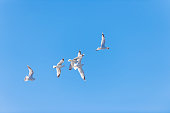 Five flying seagulls are fighting for a piece of bread. A seagull has found a piece of (pita-like) bread (holding it in its beak) and is flying to eat it in a safe place. However, it is attacked mid-air by four other hungry gulls. Shallow depth of field. Blurred background.