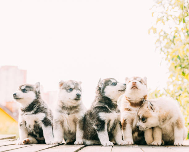 Five Four-week-old Husky Puppy Of White-gray-black-brown Color Sitting On Wooden Ground Together stock photo