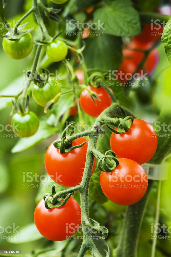 Five fresh ripe cherry tomatoes still to be picked royalty-free stock photo