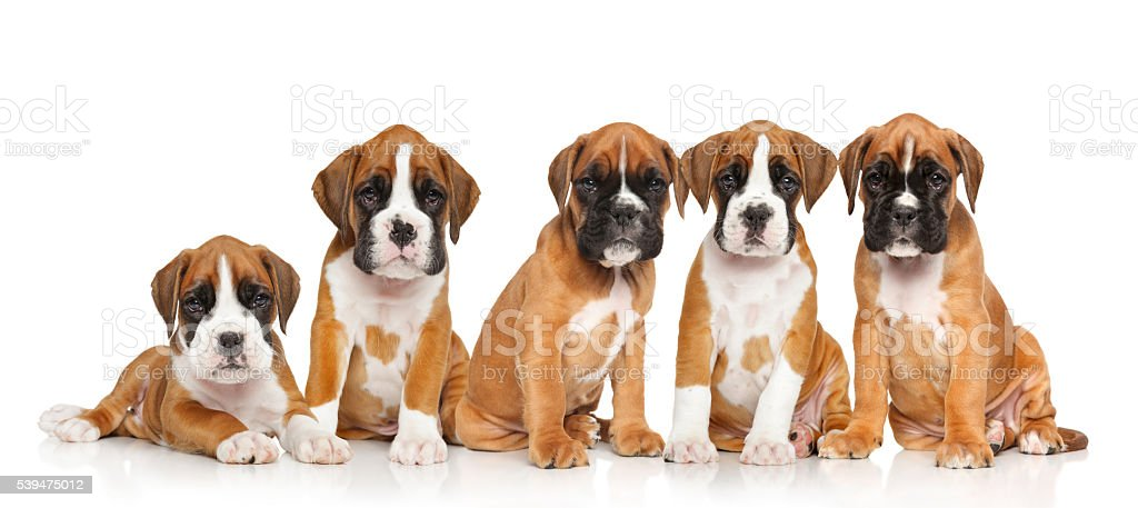 Five German Boxer puppies on white stock photo