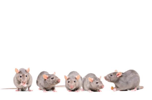 five gray rats isolated on white background - desperdício alimentar imagens e fotografias de stock