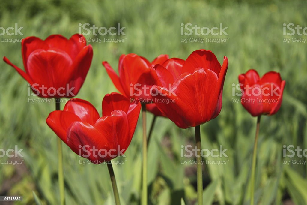 Five grouping red tulips on the field royalty-free stock photo