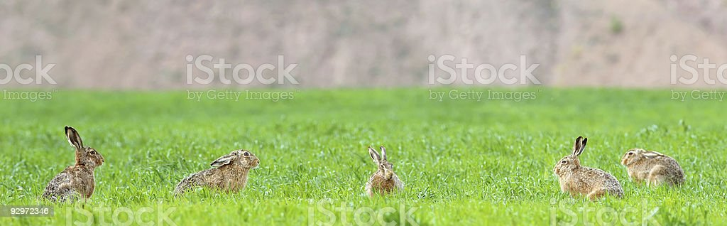 Five Hares on the field stock photo