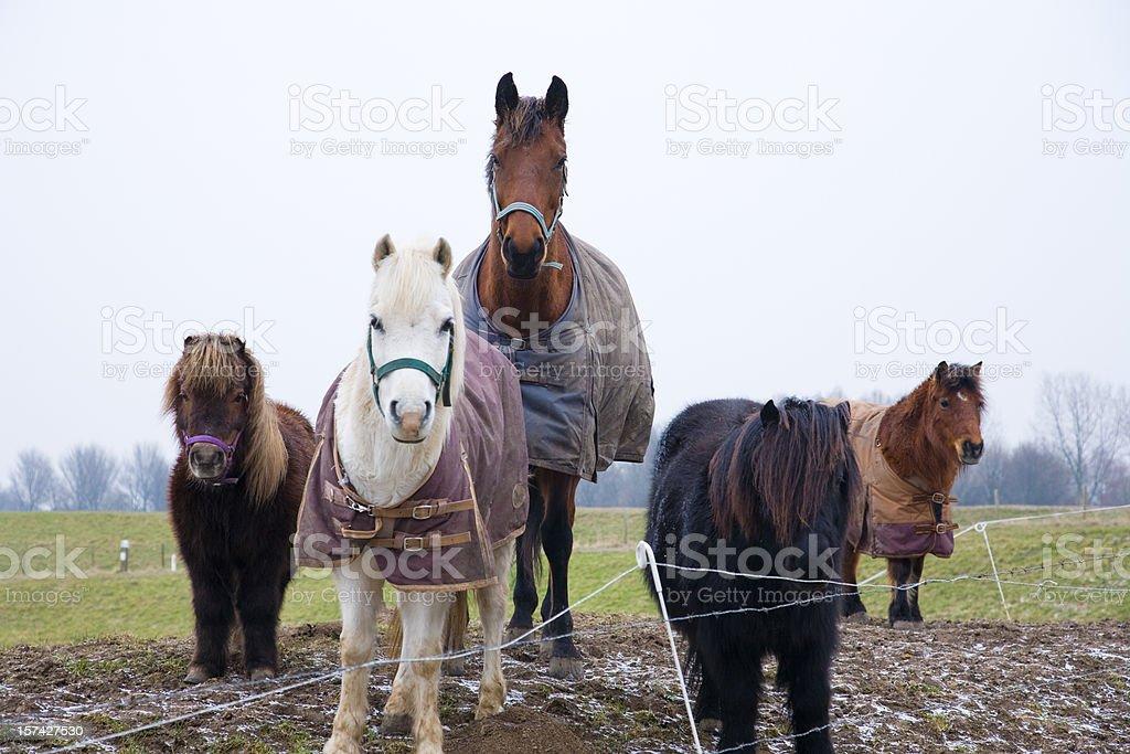 Five horses looking at camera stock photo