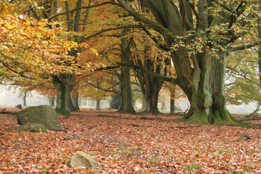 Five hundred years old beech trees in the autumn.