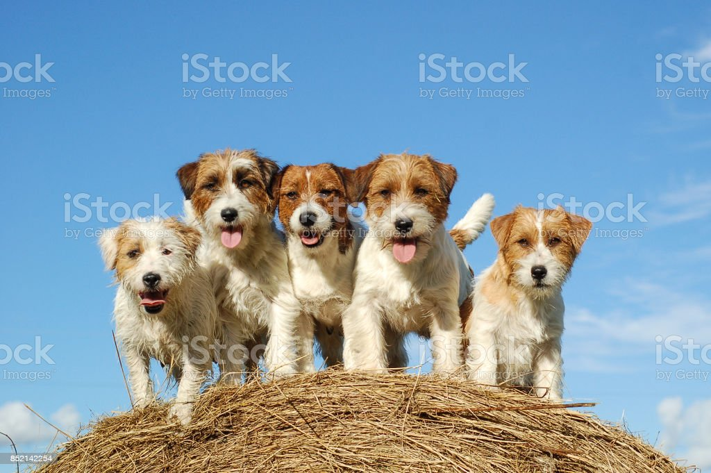 five Jack Russell terrier's on a haystack stock photo