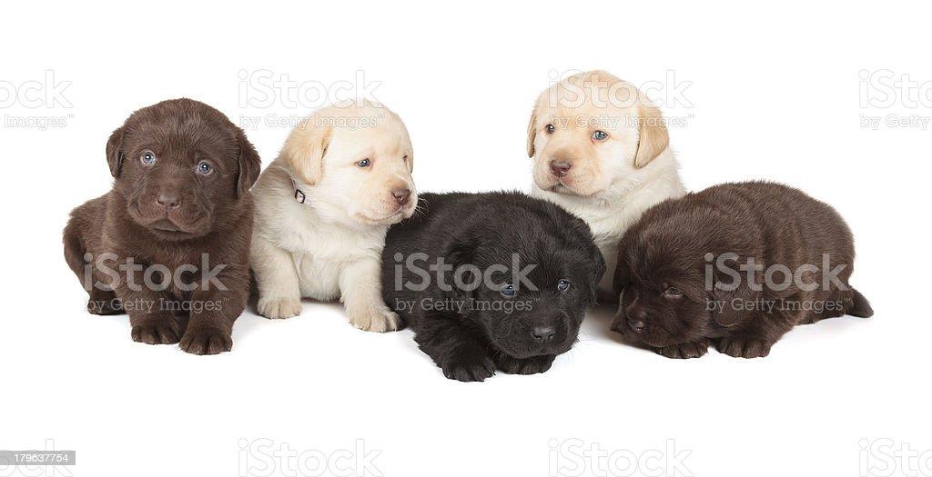 Five Labrador Retriever Puppies stock photo