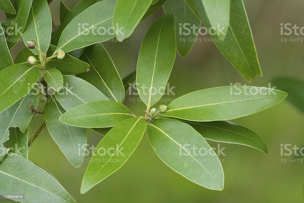 Five Laurel Leaves royalty-free stock photo