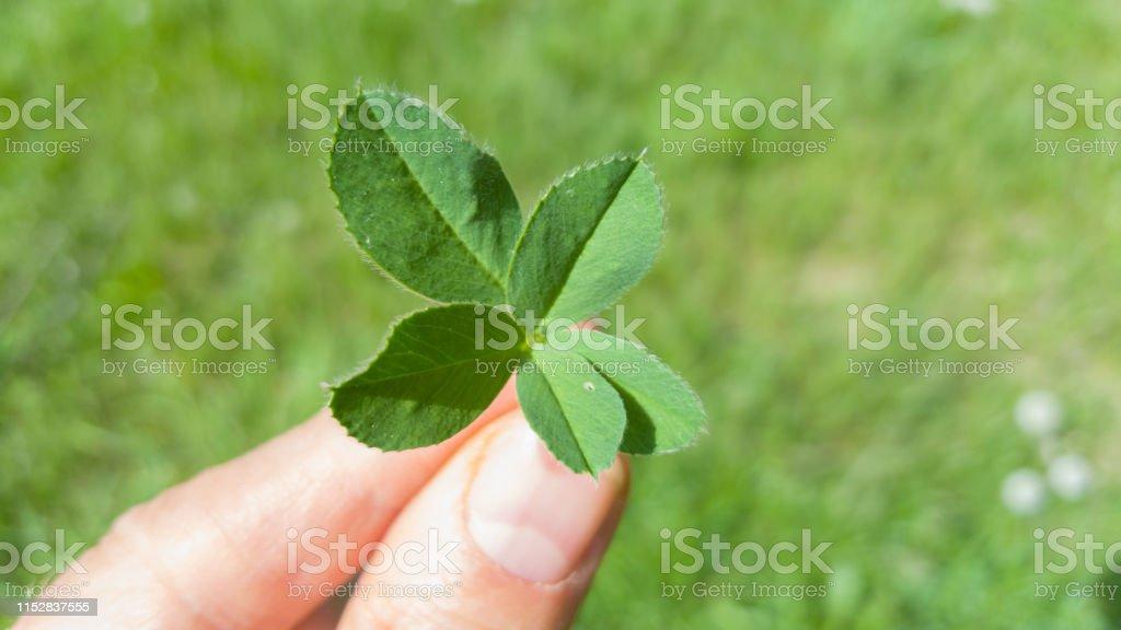 five leafed four leaf clover holding in fingers