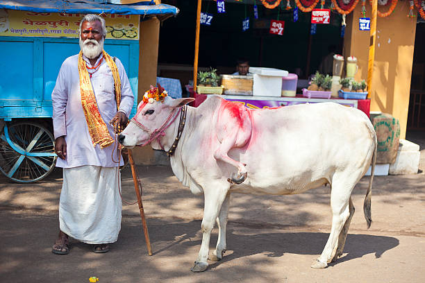 Five Legged Cow From India stock photo