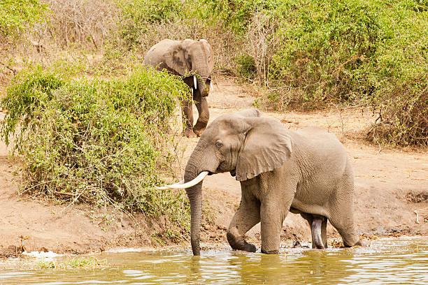 fünf beinen elefant mit penis - tierpenis stock-fotos und bilder