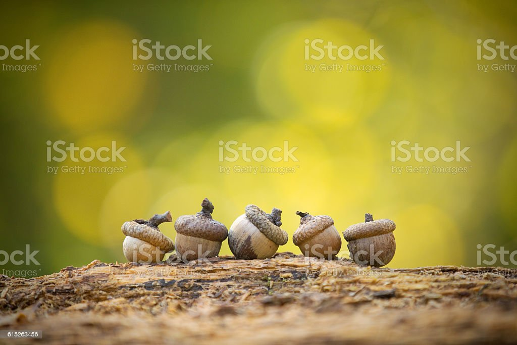 Five Little Acorns stock photo