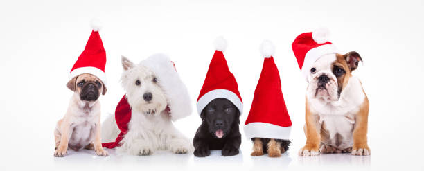 five little dogs wearing santa claus hats - santa hat stock pictures, royalty-free photos & images