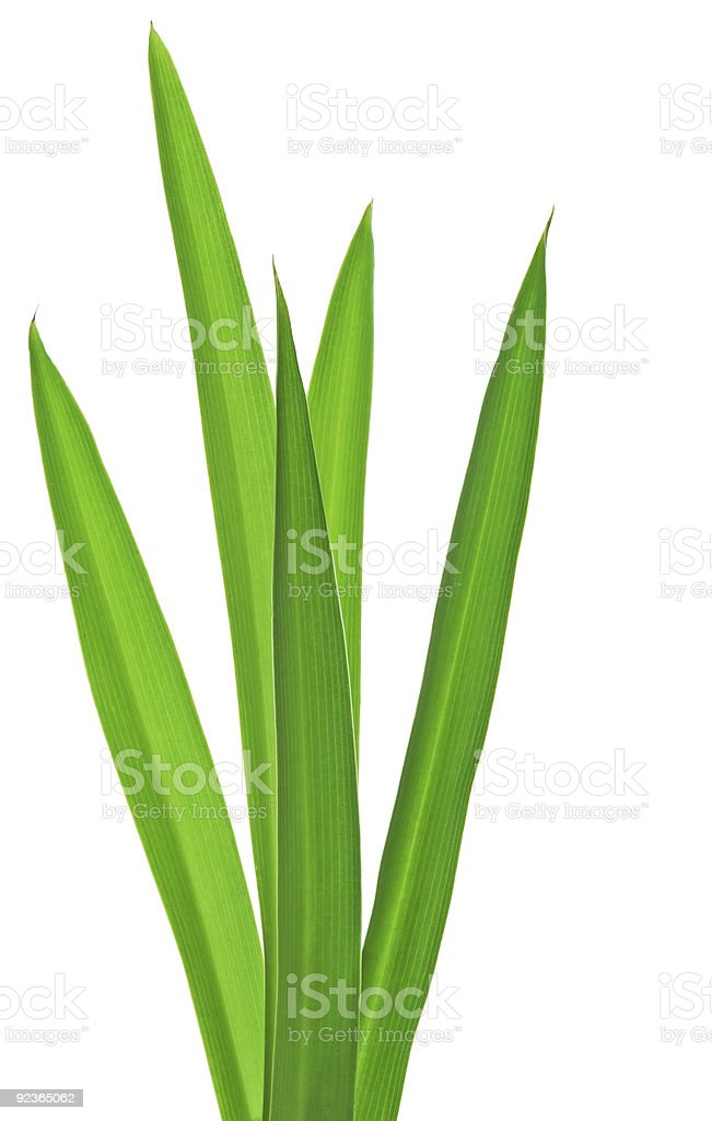Five long strands of green grass stock photo