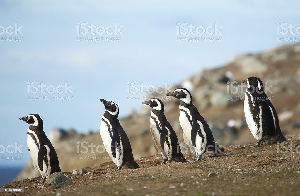 Five magellanic penguins on the sea shore stock photo