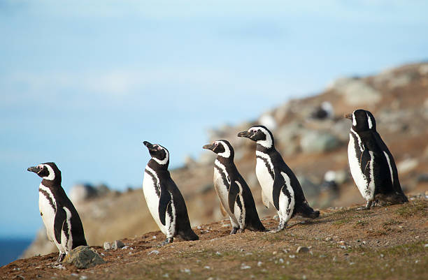 Five magellanic penguins on the sea shore stock photo