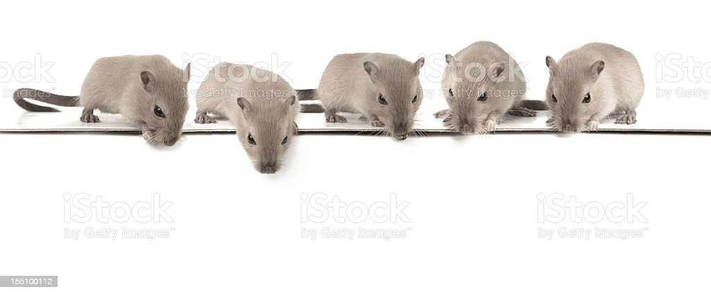 Five mice looking down royalty-free stock photo