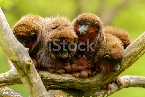 Five monkees (Coppery titi) sitting next to each other in a tree.