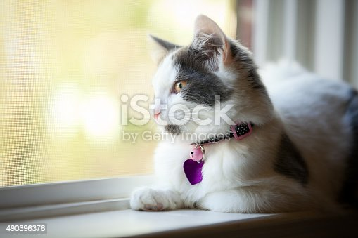 A beautiful white and gray 5 month old kitten wearing a collar and a blank tag sitting on a window sill and enjoying a beautiful day.