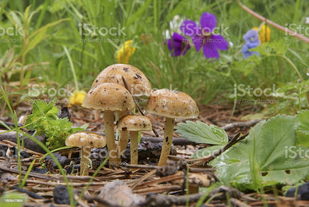 Five mushrooms at Forest Lawn royalty-free stock photo