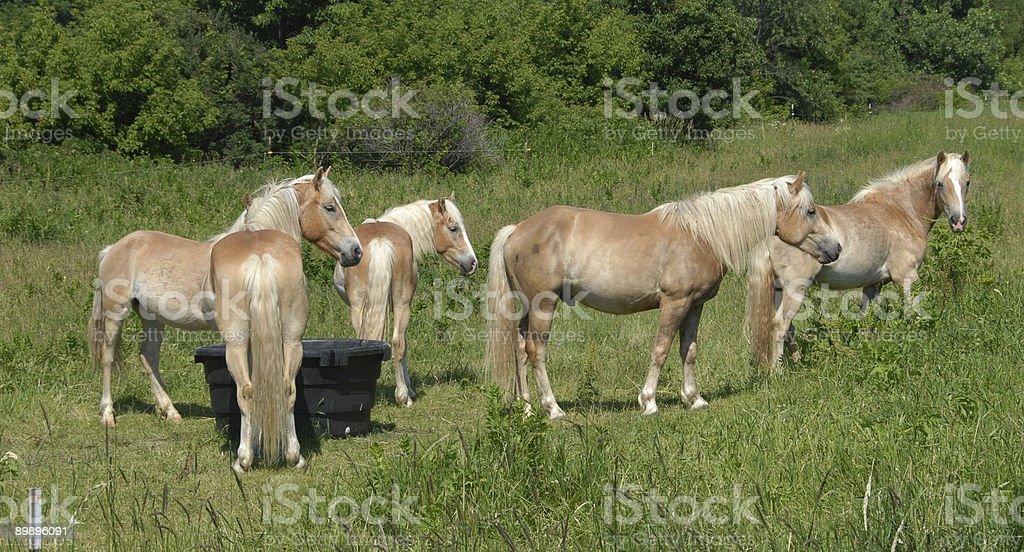 Five Palominos royalty-free stock photo