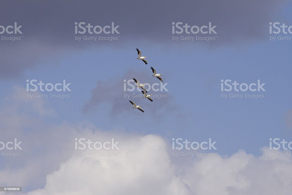 Five Pelicans Flying royalty-free stock photo