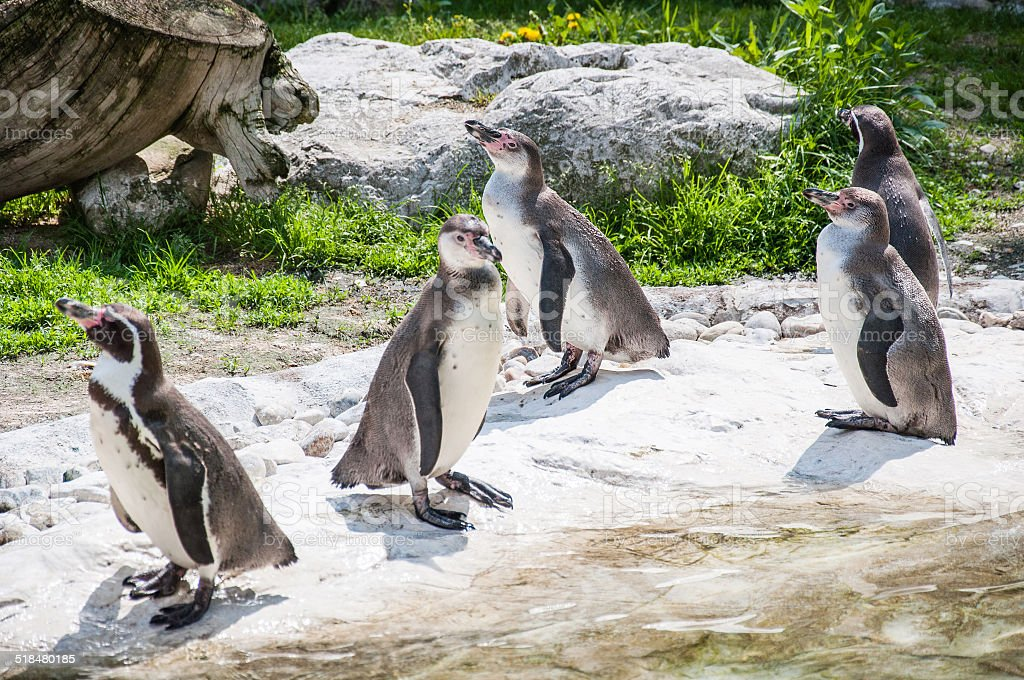 Five penguins stock photo