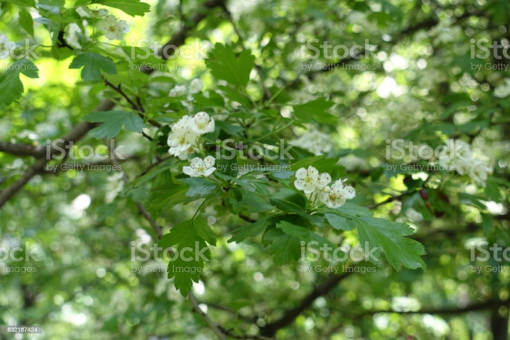 Five petaled white flowers of hawthorn in may stock photo