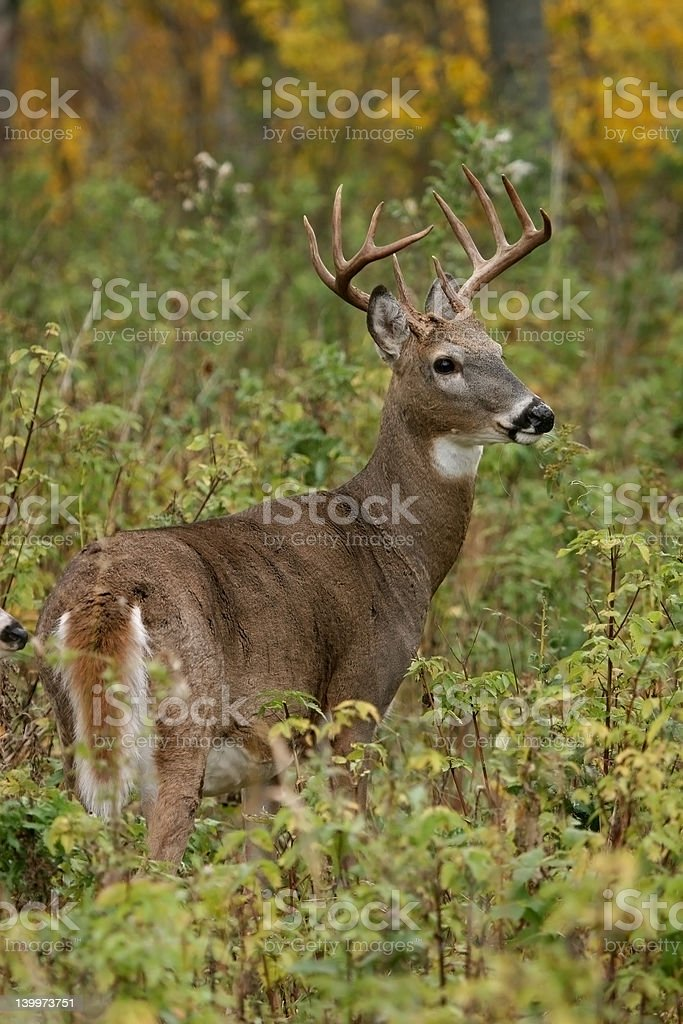 five point buck stock photo