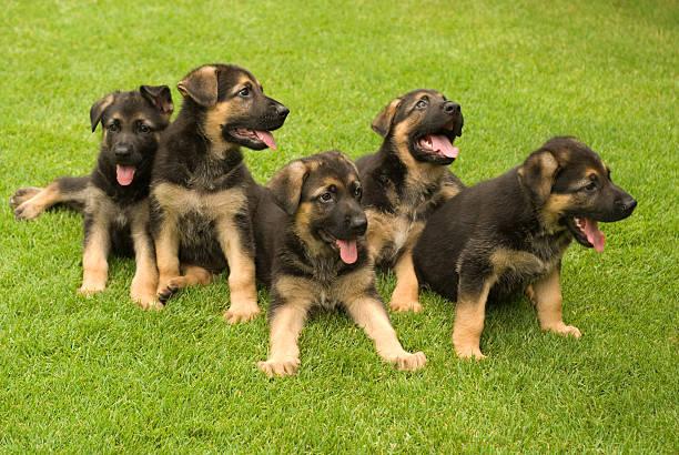 Five Puppies stock photo