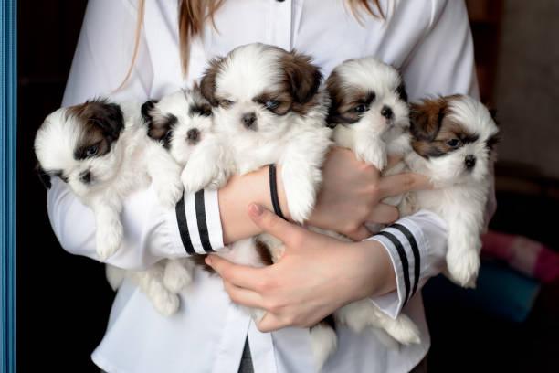 five puppies shitzu in the hands of the breeder. - allevatore foto e immagini stock