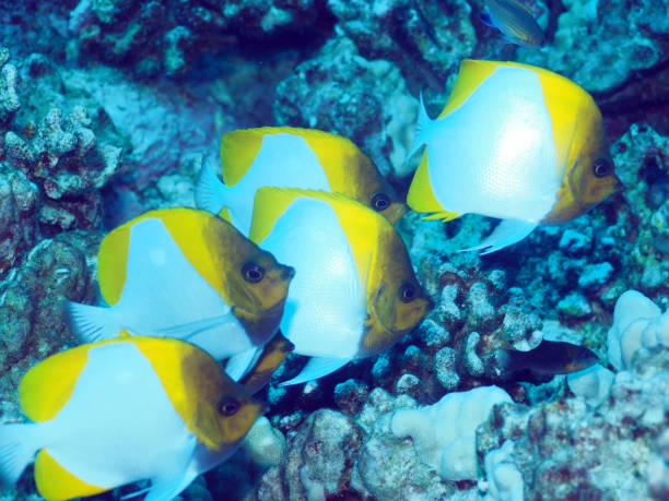 Five pyramid butterflyfish stock photo