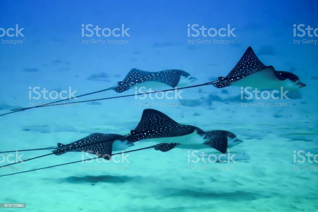 Five Rays Swim in Close Formation Over Sandy Bottom stock photo