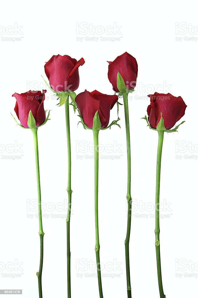 Five red roses standing upright, individually isolated. stock photo