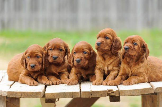 Five red setter puppies lie on wooden table Five red setter puppies lie on wooden table, outdoors, horizontal irish setter stock pictures, royalty-free photos & images