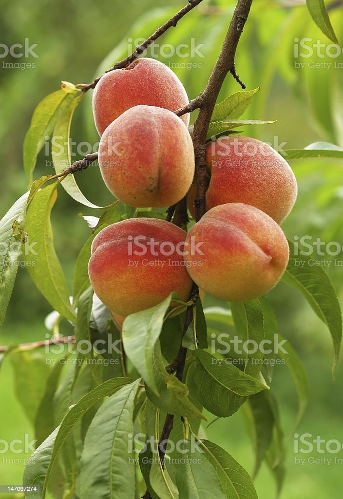 Five ripe peaches on a branch with green leaves stock photo