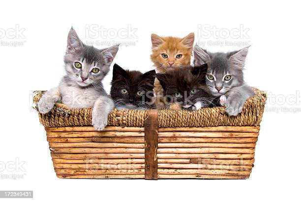 Five small kittens in a wicker basket picture id172349431?b=1&k=6&m=172349431&s=612x612&h=fvnllljathlbtc87xxnz5yv1q8pxato1j1ks7dwgv7u=