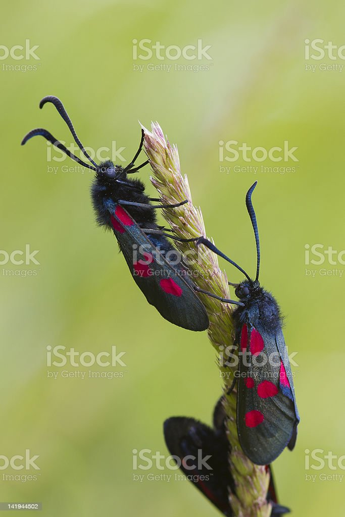 Five spot burnet royalty-free stock photo