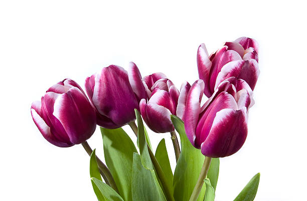five spring tulips stock photo